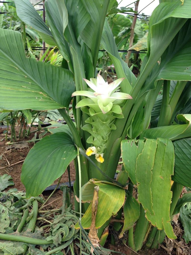 有機 無農薬栽培 ウコン開花