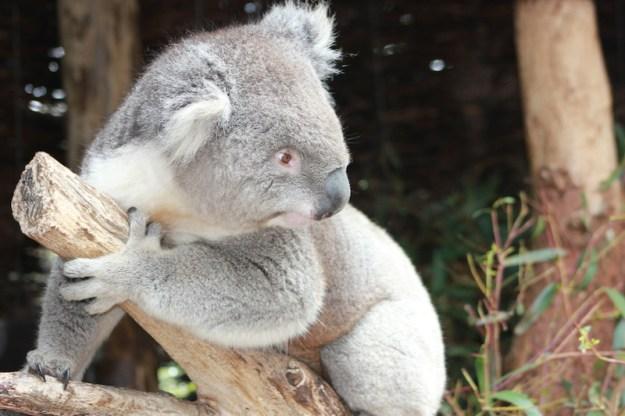 Koala Bear at Healesville Sanctuary image by Kerrie Pacholli © pationpics.com