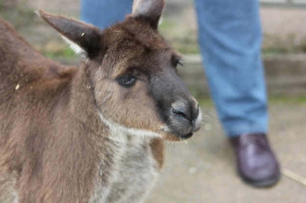 Skippy retired and living at Healesville Sanctuary image by Kerrie Pacholli © pationpics.com