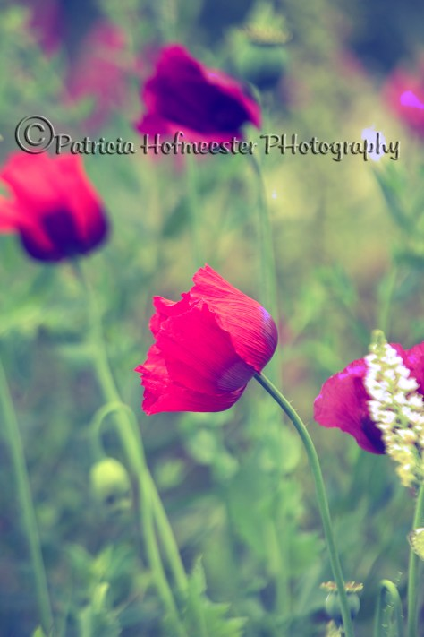 Purple and pink poppies in a field