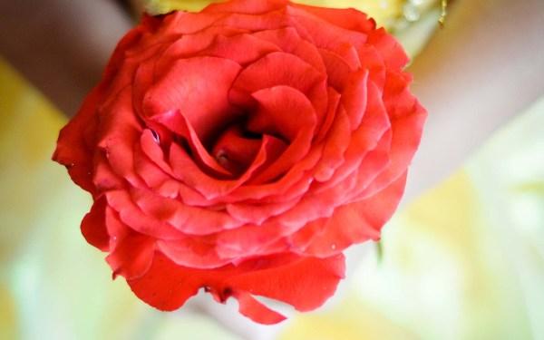 Bela e sua rosa mágica