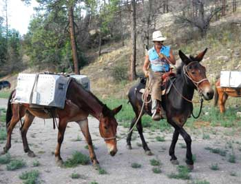 Coronado Pack being transferred by mule into the Gila Wilderness Photo Courtesy of the U.S Fish and Wildlife Service