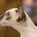 Seychellois Cat Breed Profile