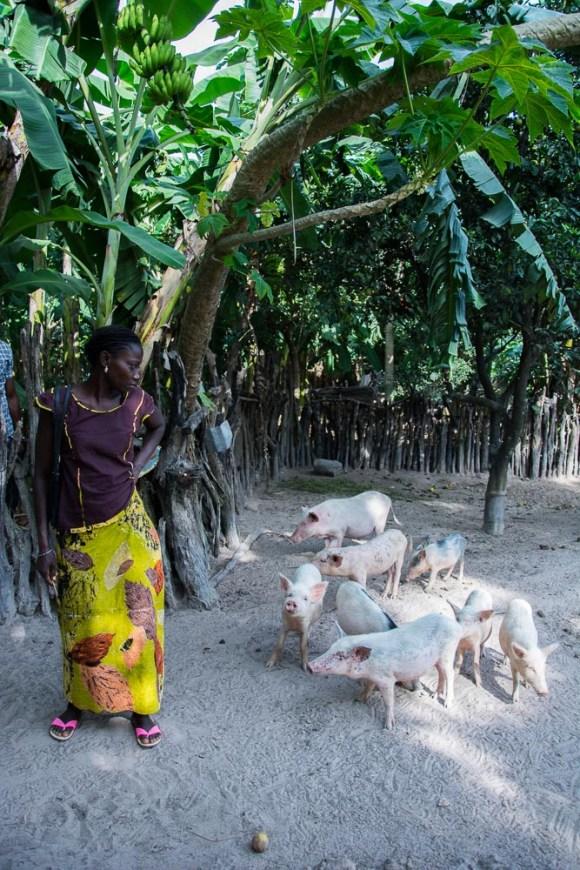 Elevage de porc à Dikène Diola