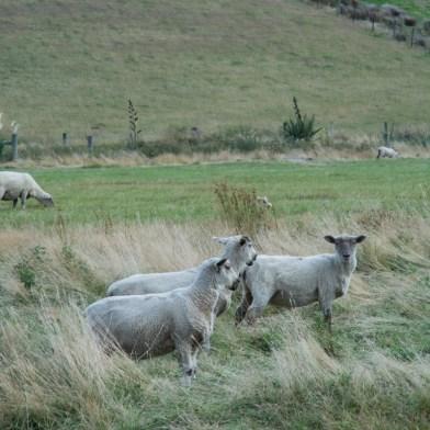 D'autres moutons de Ben - http://paysansdavenir.com/portrait-dagriculteur-ben-richards-8040-moutons/
