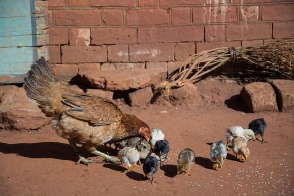 Une poule de François et ses petits