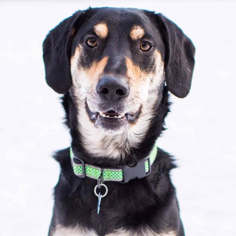 Large Of Beagle Husky Mix