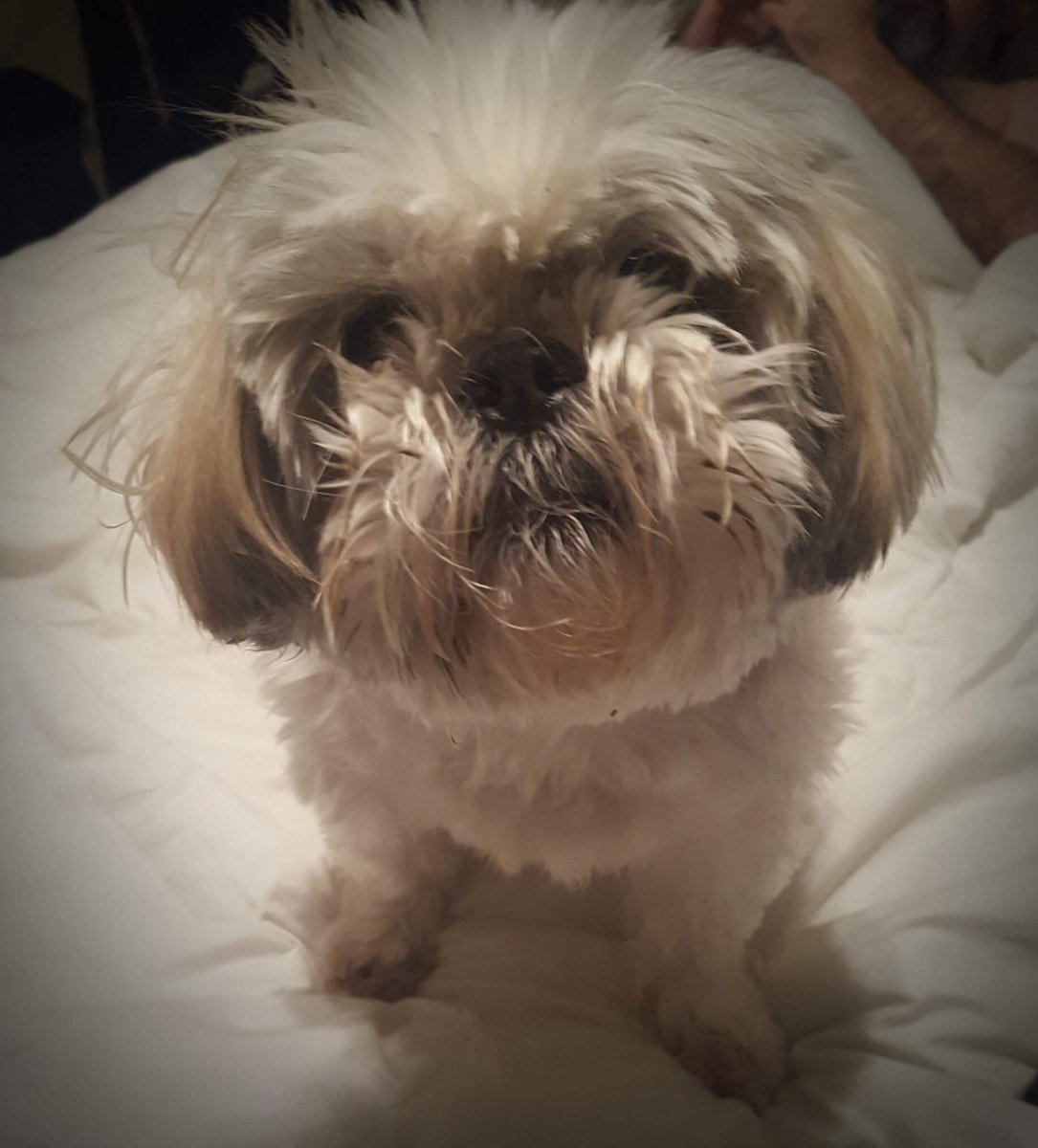 Fullsize Of Shih Tzu Haircut