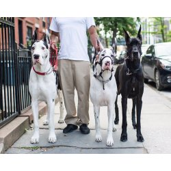 Small Crop Of How Long Do Great Danes Live