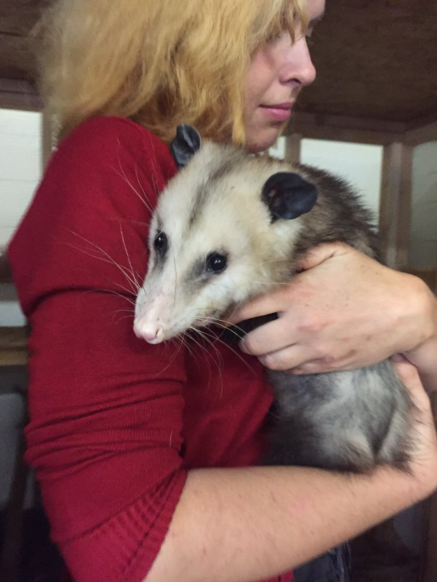 Posh Common Despite Simularities Opossum Is Not Directly Related To Australian It Has About As Much A Possum As Itdoes A Emma On Opossums Will At Each houzz-03 Do Possums Bite