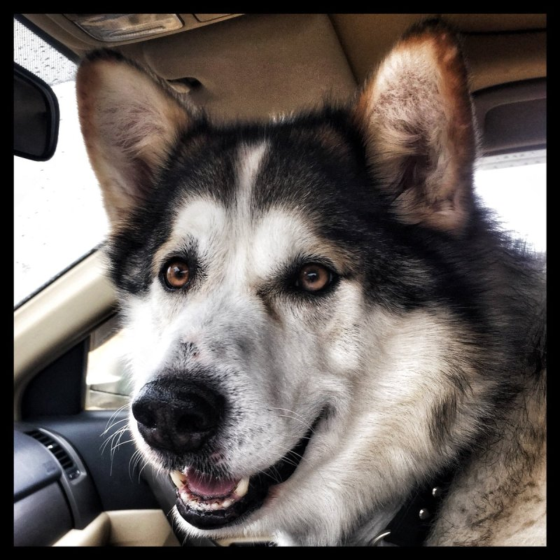 Large Of Malamute Husky Mix