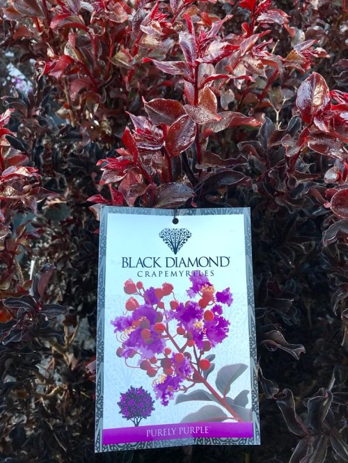 Medium Of Black Diamond Crape Myrtle