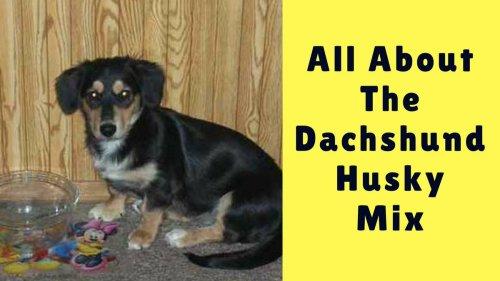 Medium Of Dachshund Husky Mix
