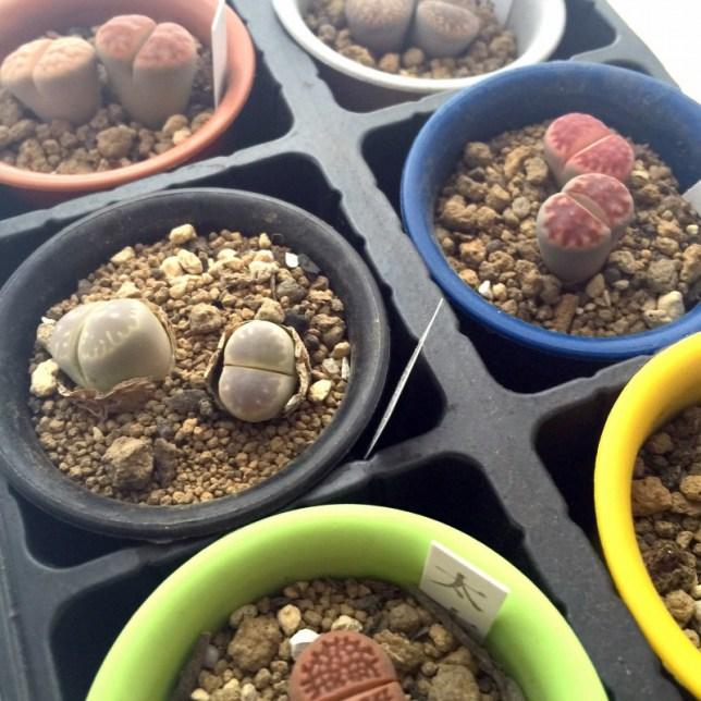 リトープス 多肉植物