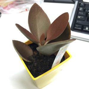 カランコエ 仙人の舞 多肉植物