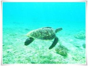 Pagong, turtle, pawikan