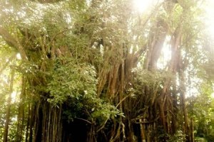Spells, Enchantments, Gems: Siquijor's Very Old Balete Tree