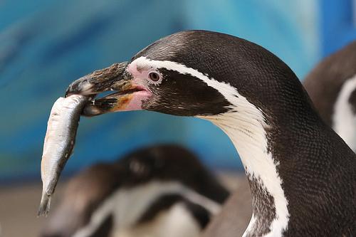 フンボルトペンギンの大人の写真