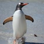ジェンツーペンギンの大人の写真
