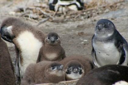 ケープペンギンの子供の写真