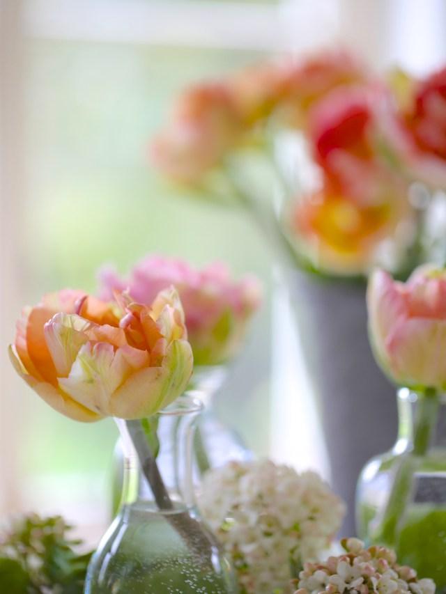 Tulip-Charming-Lady