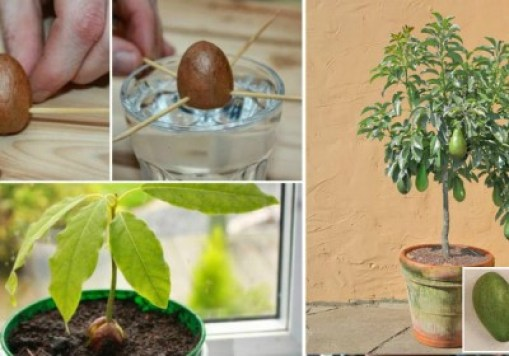 How to Grow Your Own Avocado Tree from Seed It is very uncommon to see an entirely grown avocado tree if you are not living in Mexico or Central America (Florida and California in the USA).  A lot of people have tried to grow one in their own home and yard and have totally failed. But, this is a reason to try harder, and never give up. Avocado tree might grow up 70 feet in height, with leaves about 5 to 10 inches long. Avocado tree has tiny in size yellow- greenish flowers. Its fruit is about 4 to 9 inches long, weighting about  4 oz up  to 34 oz, and has 1 single seed in the middle. Still, you shouldn't worry about its height. Your avocado won't reach that height. How to grow avocado from seed or pit The point of growing your own avocado tree is getting a pit from an over ripe avocado. There are some supermarkets that will put their over ripe avocados on sale on low price, making it more available to you.  Follow the next instructions below on how to grow avocado tree in your environment. Extract the seed and wash off with water all the green remains from the fruit. Dry the seed by gently rubbing it with soft paper towel. With 3 toothpicks stab the seed gently at about 1/3 of the height. Put the avocado seed or pit with point up in a glass jar filled with lukewarm water. Put the jar in a warm place but take pay attention not to put it under direct sunlight. Check the water level everyday and make sure that at least 1 inch of the pit is soaked in water. In 4 to 6 weeks, the pit will split by itself. Stem will sprout from the top and roots will start to grow at bottom. If you there aren`t  any changes in the pit in the first two weeks, throw away the pit and buy another avocado and begin all over. When the stem is grown up to 6 inches you should cut it in half in order to strengthen the stem. As days passes by, there will be a plenty leaves and more roots. After another 3 weeks you will need to plant the avocado seedling. Take a flower pot and add in some enriched potting soil up to about an inch to the top.  Make a small hole with your finger in the middle by pushing the soil down and then put the pit in. Be careful that the top must stays above the dirt level and the stem is straight up. Watering is ordinary normal. Just pay attention that the soil is always wet, but not muddy. Because of the fact that avocado loves sunlight, it would be brilliant to put in near a window. This will give the essential sunlight. Just to recap pay attention to take care of the following tips: The tree will grow larger if it is getting more sunlight. Water lightly on daily basis, making sure that the soil is always wet. If the leaves begin to get more yellow color, you are over-watering. If the leaves start getting more brownish and fry at the tips, the soil might have intake too much salt. To fix this, let the water flow freely into the pot, and after that drain. When your avocado tree grow up about 12 inches high, cut it down to half. This will cause the tree to grow sideways and to have more leaves. Soon after that you will have a beautiful high leafy avocado tree. The tree should provide fruits in about 8 to 14 years. Source: http://healthadore.com/how-to-grow-your-own-avocado-tree-from-seed/