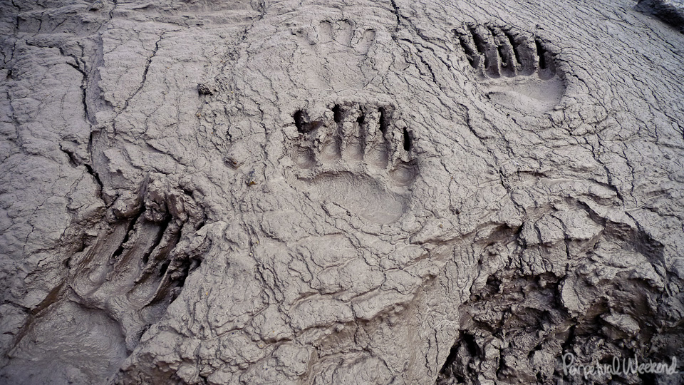bear prints, bear tracks in mud, alaska