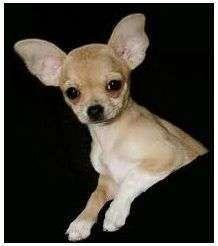Curiosidades del perro chihuahua