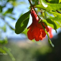 PersisKarim_pomegranateblossom