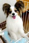 パピヨン|dog0014-018