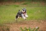 走る犬 シュナウザー|dog0173-022