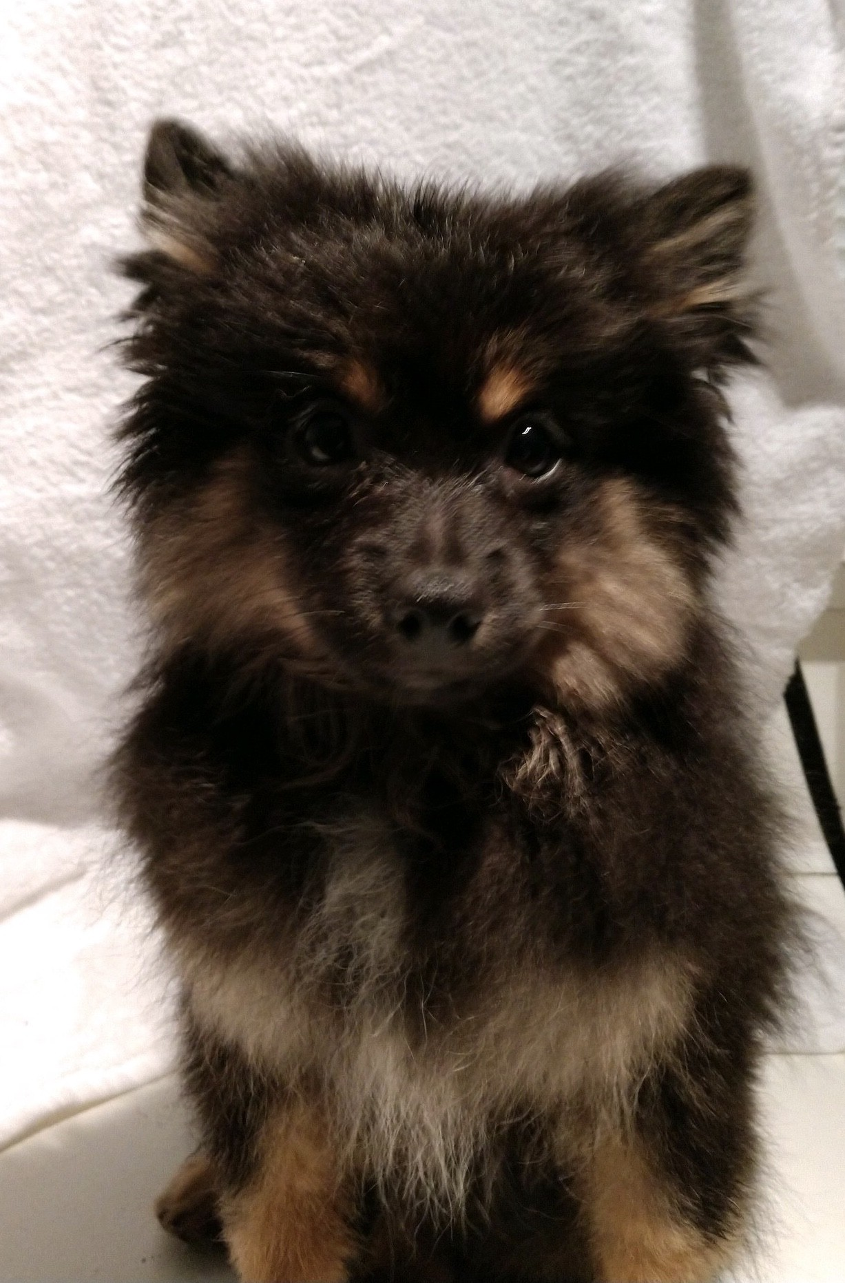 Fullsize Of Pomeranian Rottweiler Mix