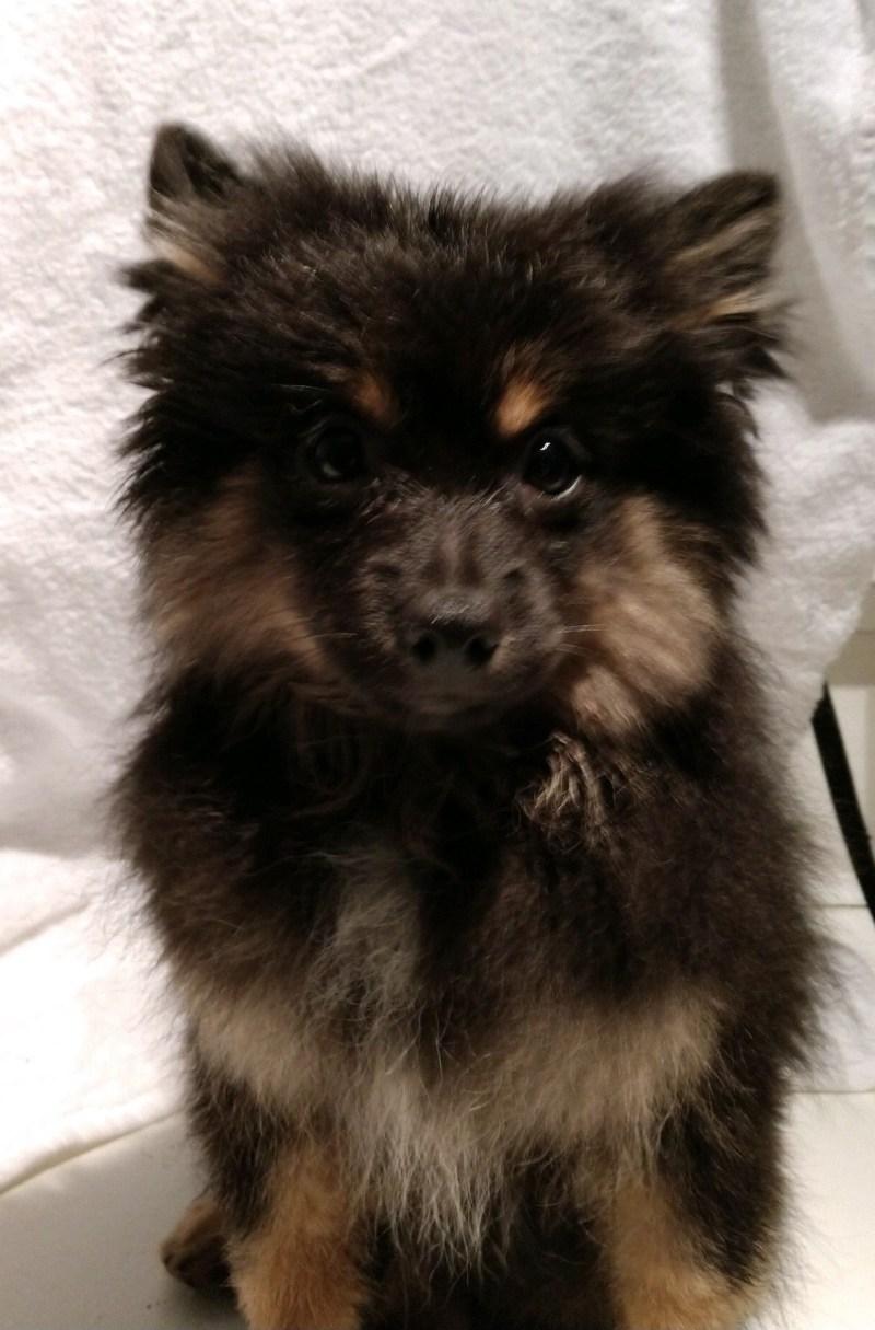 Large Of Pomeranian Rottweiler Mix