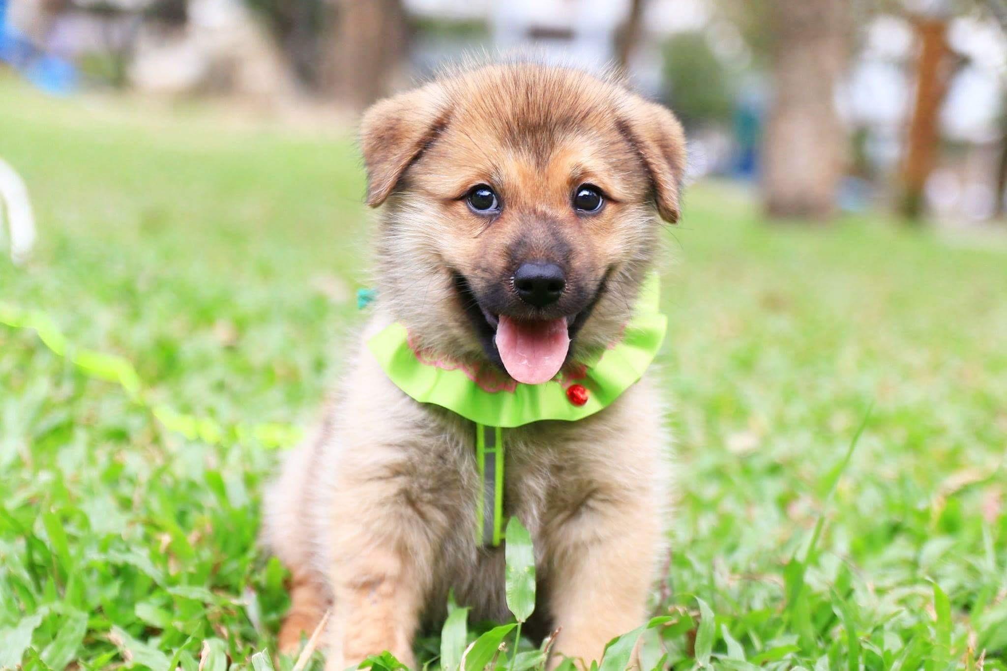 Grande Temple Ca Chow Meet Chester A Dog Shiba Corgi Mix Sale Corgi Shiba Inu Mix Cost bark post Shiba Corgi Mix