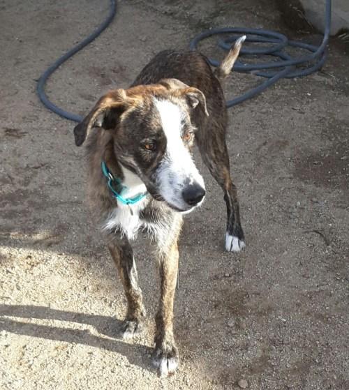 Medium Of Irish Wolfhound Rescue