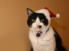 Christmas cat photography by Pet Angel photography