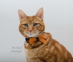 Red Tubby cat photographed by Pet Angel Irina for Halloween Cat Portrait