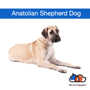 about-Anatolian-Shepherd-Dog-