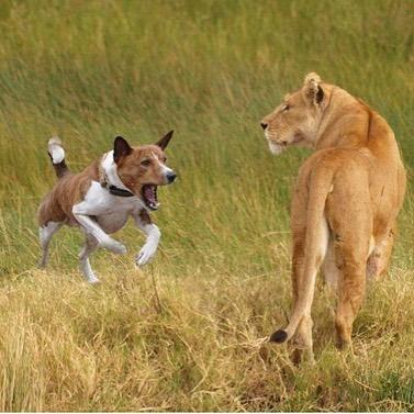 basenji hunting lions
