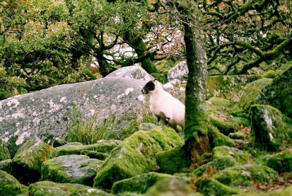 wistmans_wood_sheep