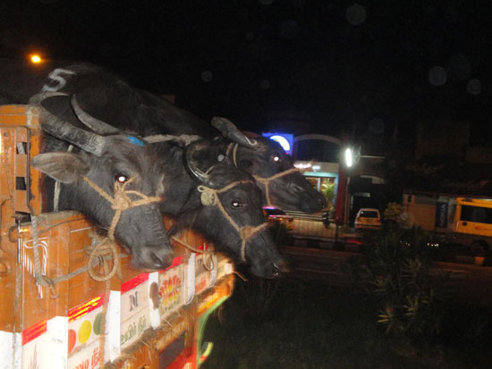 Cows on a truck going to the tannery in India