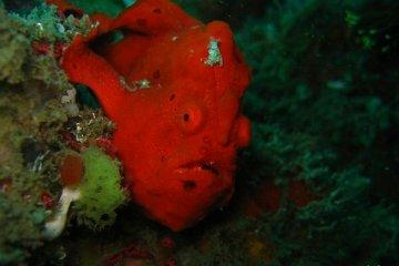 Antennaire ou poisson-crapaud (frog fish), d'un beau rouge vif. Philippines, février 2008.