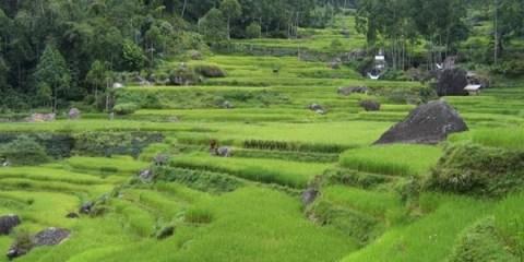 Rizières près de Batutumonga. Sulawesi, Indonésie.
