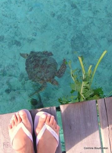 Tortue sous le ponton. Derawan Island, Bornéo, Indonésie. Juillet 2009.