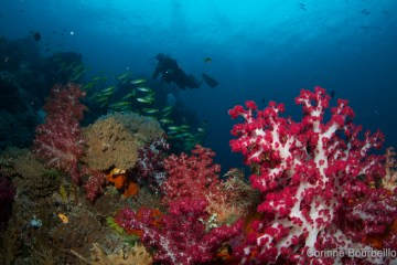 Plongée à Raja Ampat. Papouasie occidentale, Indonésie. Mars 2012.