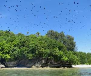 Mioskon Island : notre arrivée réveille des milliers de chauves-souris cachées dans les arbres. Raja Ampat. Papouasie occidentale, Indonésie. Juillet 2012.