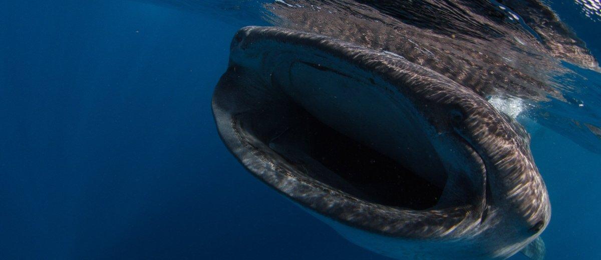 Requin-baleine. Quintana Roo, Mexique. Juillet 2014.