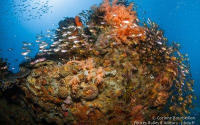 Patate de corail et poissons de verre. Sekotong Bay, Lombok, Indonésie, juillet 2015.