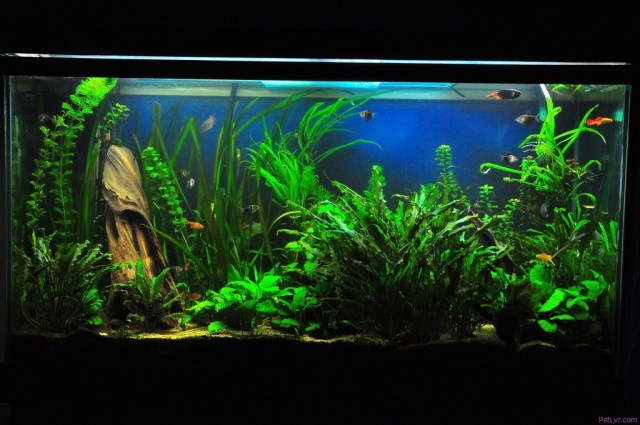 Beginner?s Guide to Freshwater Tropical Fish | PetLvr Blog for Pet
