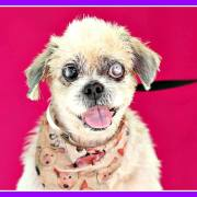 Visually impaired senior dog